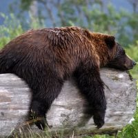 TAM orso