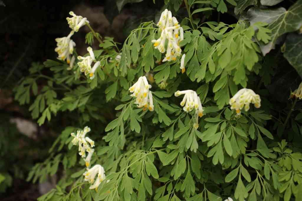 19-04-14 TAM Pseudofumaria alba