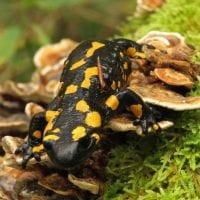 19-09-29 TAM Andreuzzi salamandra gialla e nera_141