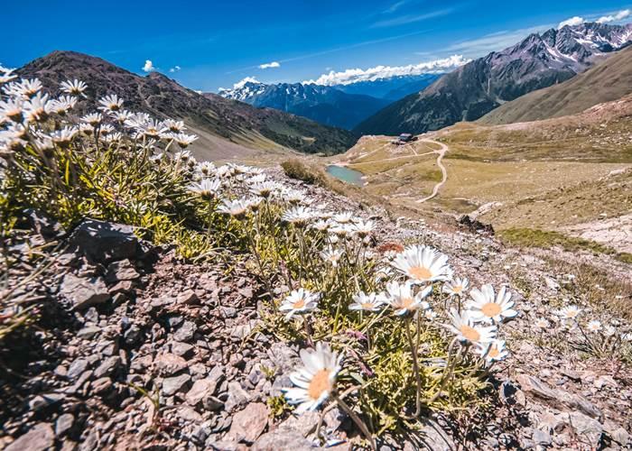 fiori ghiacciaio presena pontedilegnotonale.com:.jpg